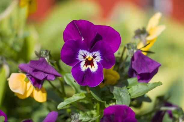 Viola/Pansy Spring flowers stock photo
