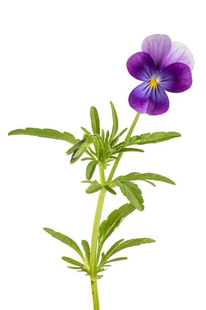 Viola/pansy tricolor isolated on white background Viola/pansy tricolor isolated on white background pansy stock pictures, royalty-free photos & images