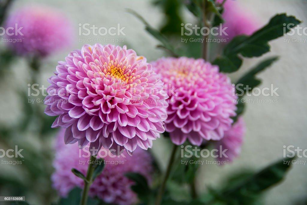 Violent chrysanthemums flower stock photo
