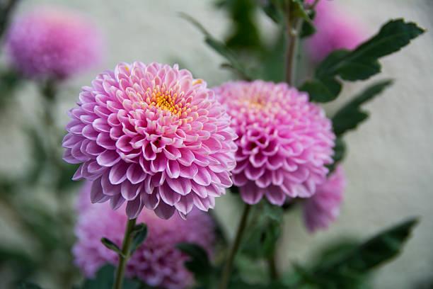 violent chrysanthemums flower - chrysant stockfoto's en -beelden