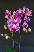 Violet and white orchid (Phalaenopsis), blooming with black background