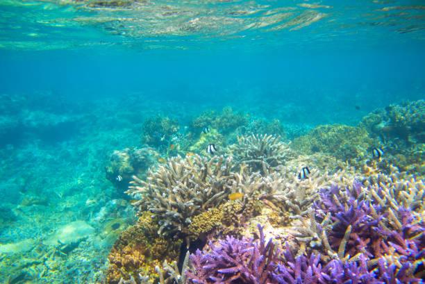 violett und gelb korallenriff bildung am meeresboden. warmen blauen meerblick mit sauberem wasser und sonnenlicht. - coral and mauve stock-fotos und bilder