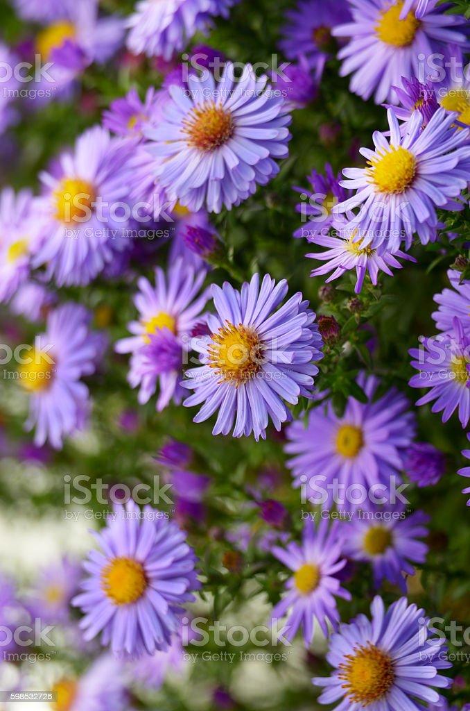 Violet Asters  – Foto
