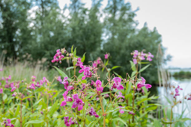 Violet blooming Himalayan Balsam from close stock photo