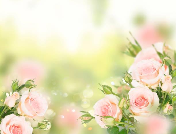 Violet blooming roses picture id1084120056?b=1&k=6&m=1084120056&s=612x612&w=0&h=59cahmkwnbbrqta7 qgflvpxgwjqawad v9nxwxwzc0=