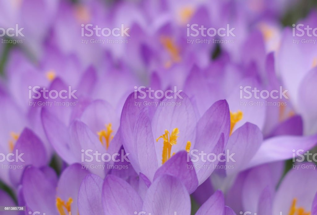 Violet blossoms of crocuses stock photo