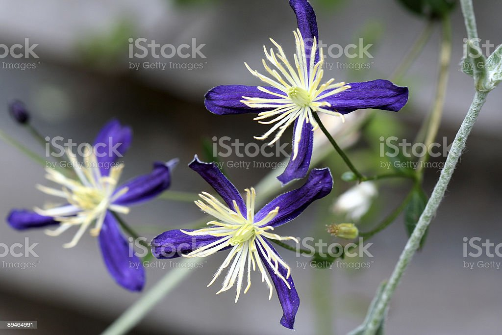 Violet blue Clematis Aromatica royalty-free stock photo