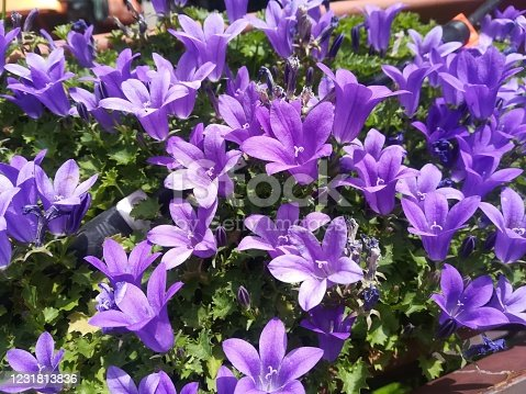 Close-up view of campanula portenschlagiana flowers blooming brightly illuminated by the sun