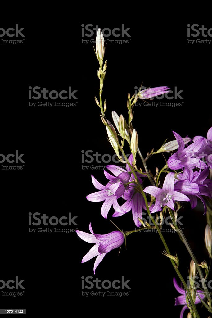 Violet campanula flowers over black background royalty-free stock photo