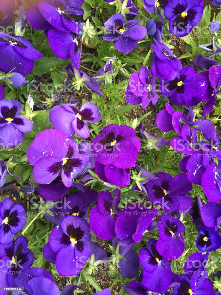 Violet kleur bloem - Royalty-free Bloem - Plant Stockfoto