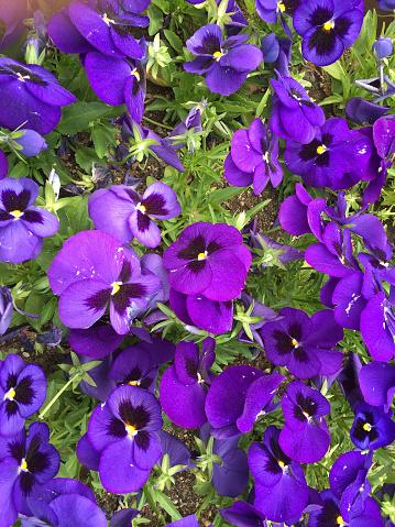 Violet Kleur Bloem Stockfoto en meer beelden van Bloem - Plant