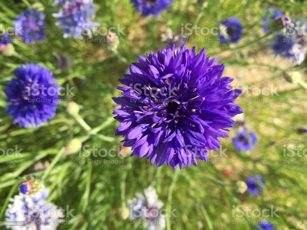violette Farbe Blume - Lizenzfrei Bildhintergrund Stock-Foto