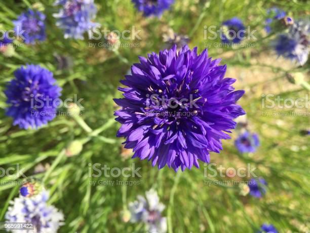 Violette Farbe Blume Stockfoto und mehr Bilder von Bildhintergrund