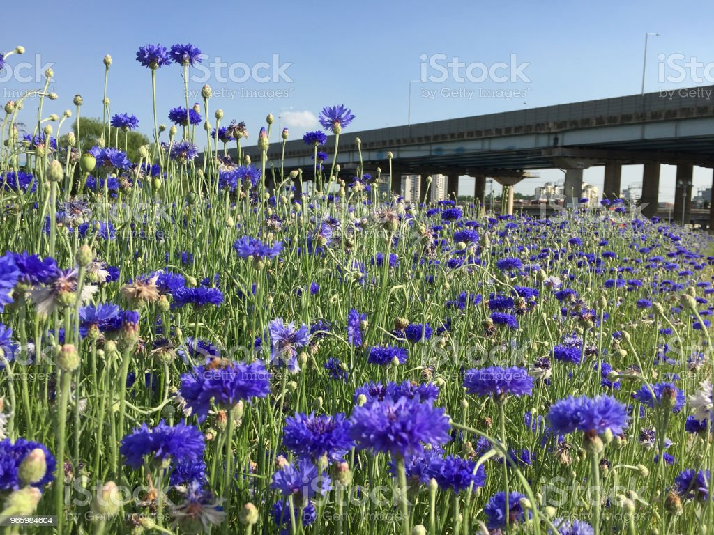 violet color flowers - Royalty-free Backgrounds Stock Photo
