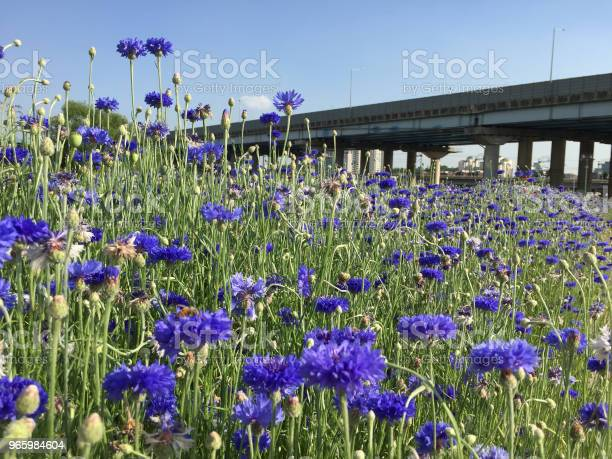 Violet Color Flowers Stock Photo - Download Image Now