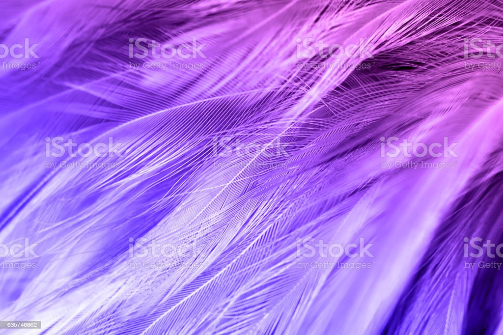 Violet color trends chicken feather texture background stock photo