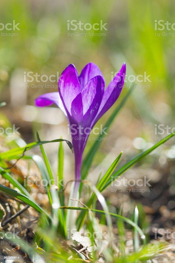 Flor de violeta açafrão - Foto de stock de Abelha royalty-free