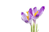 Violet crocus flowers bouquet isolated on white background. Beautiful spring flowers crocus close up