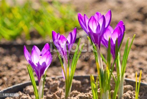 639394370 istock photo Violet crocus 140162385