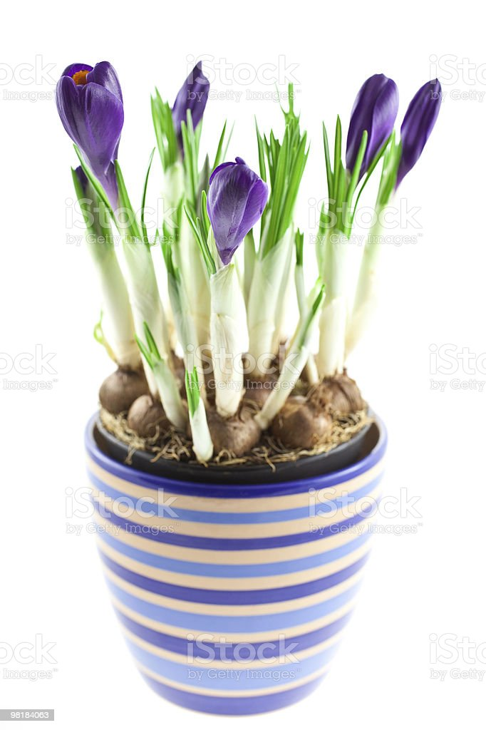 violet crocuses in a pot isolated royalty-free stock photo