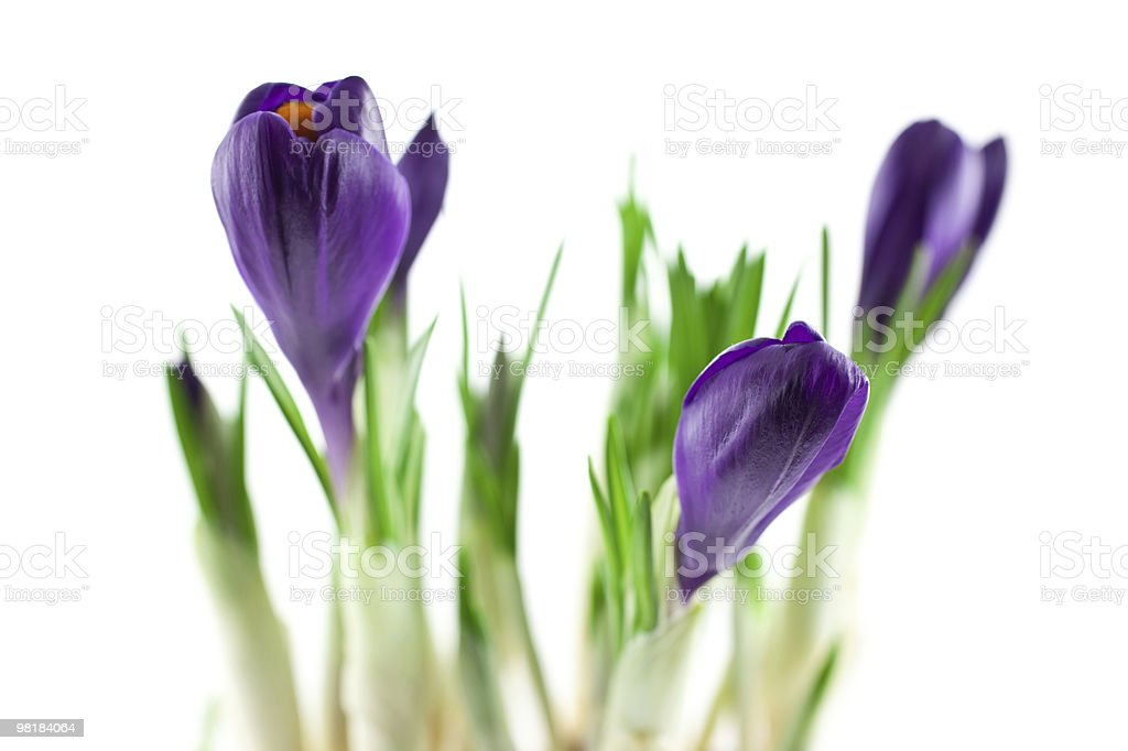 violet crocuses isolated royalty-free stock photo