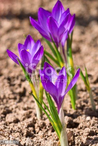 639394370 istock photo Violet crocuses 148034520