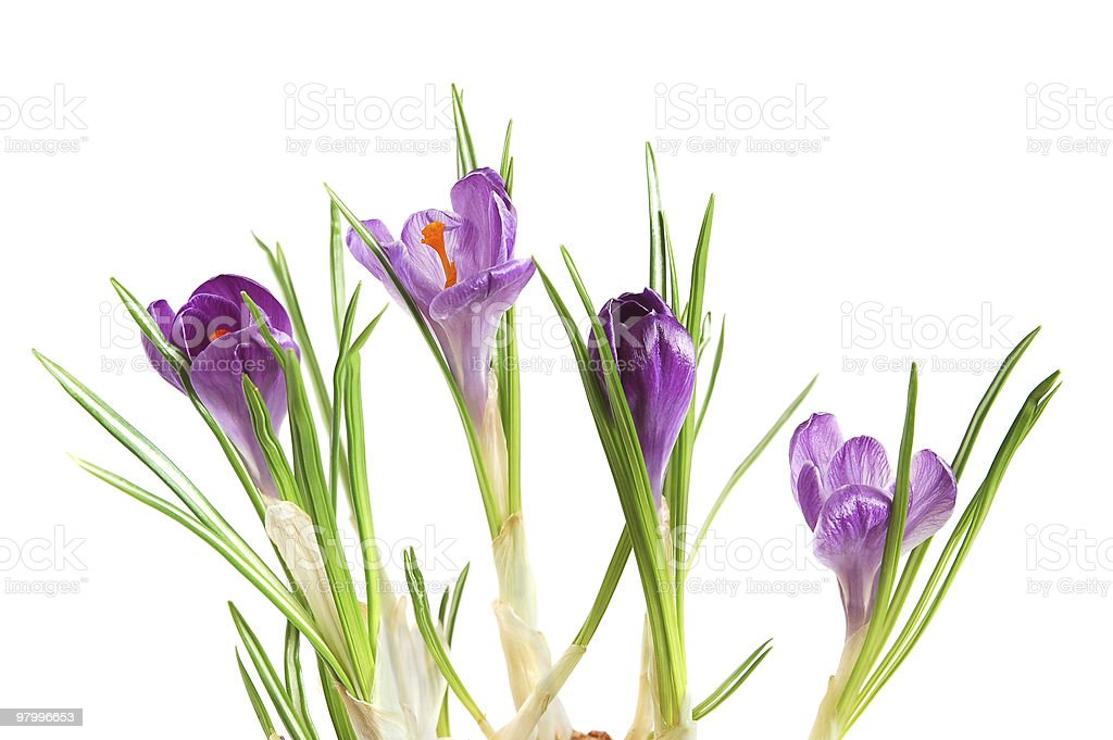 Violet crocuses royalty free stockfoto
