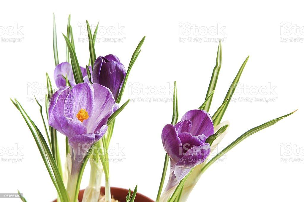 Violet crocuses royalty-free stock photo