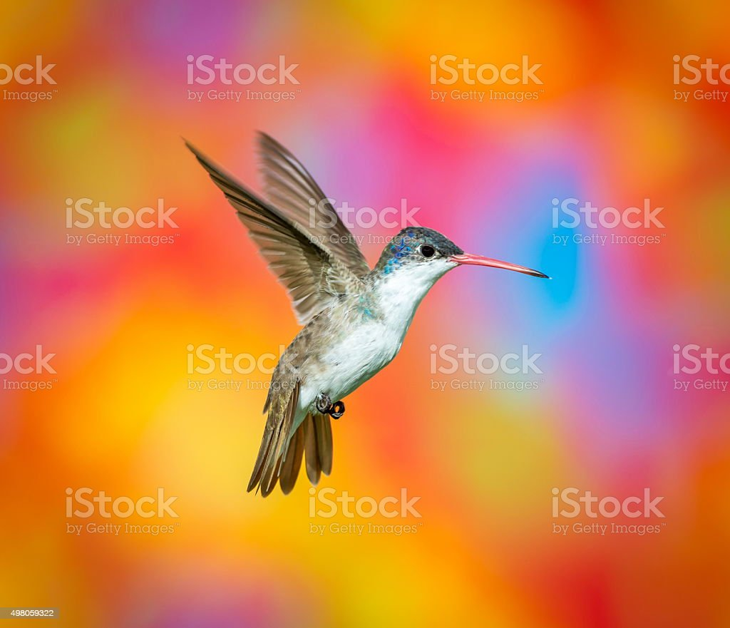 Violet Crowned Hummingbird. stock photo