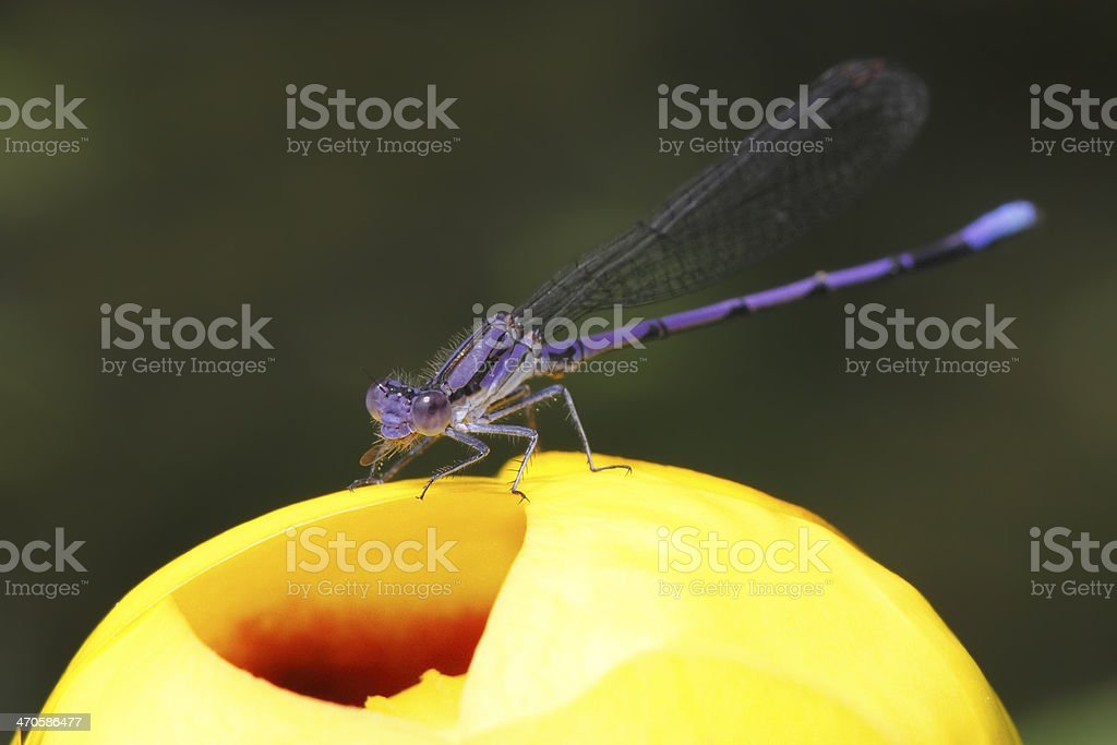 Violet Dancer on a Yellow Pond Lily stock photo