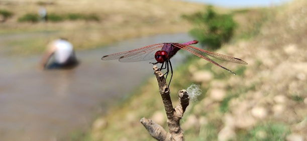 One of the skimmer dragonflies of the family Libellulidae at the edge of the swamp.