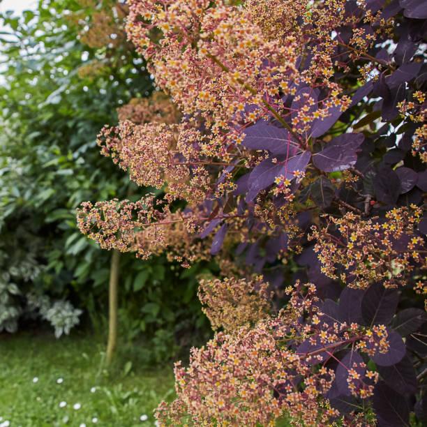 violette europäischen smoketree - perückenstrauch stock-fotos und bilder