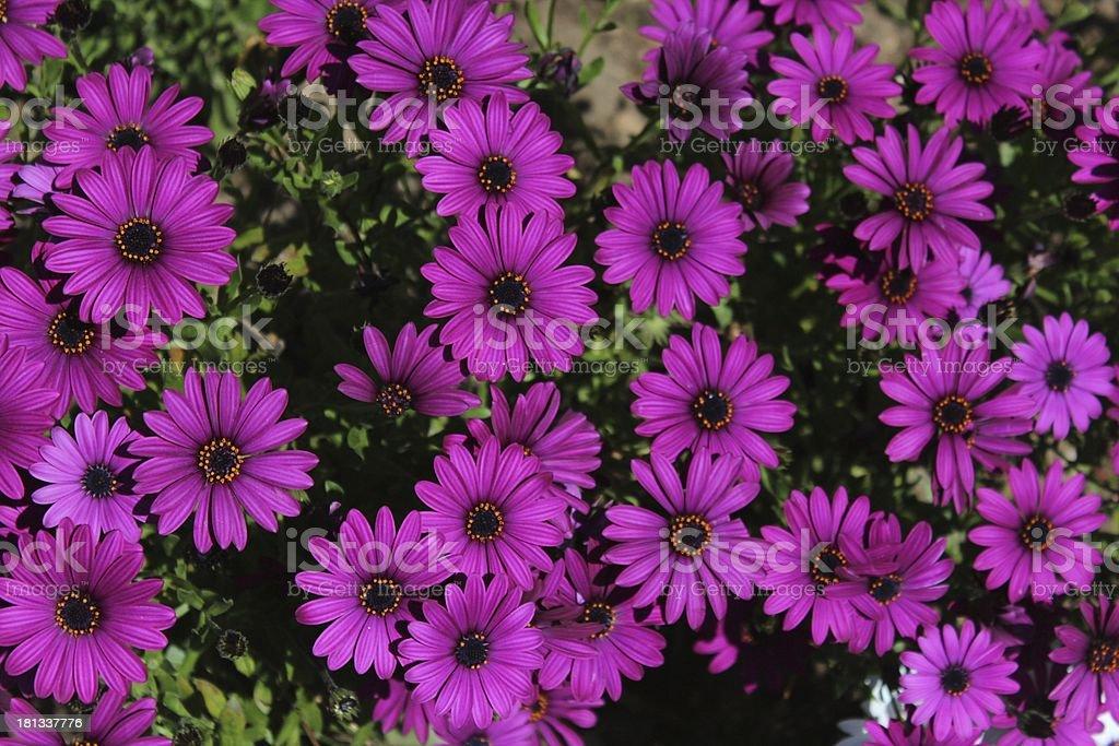 Violet Flouvers stock photo