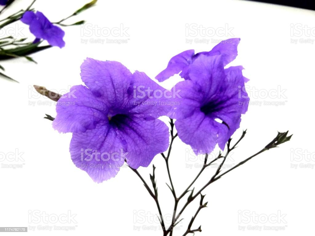 Violet Flower Background Crocus One Of The First Spring Flowers Violet Flowers Background Stock Photo Download Image Now Istock