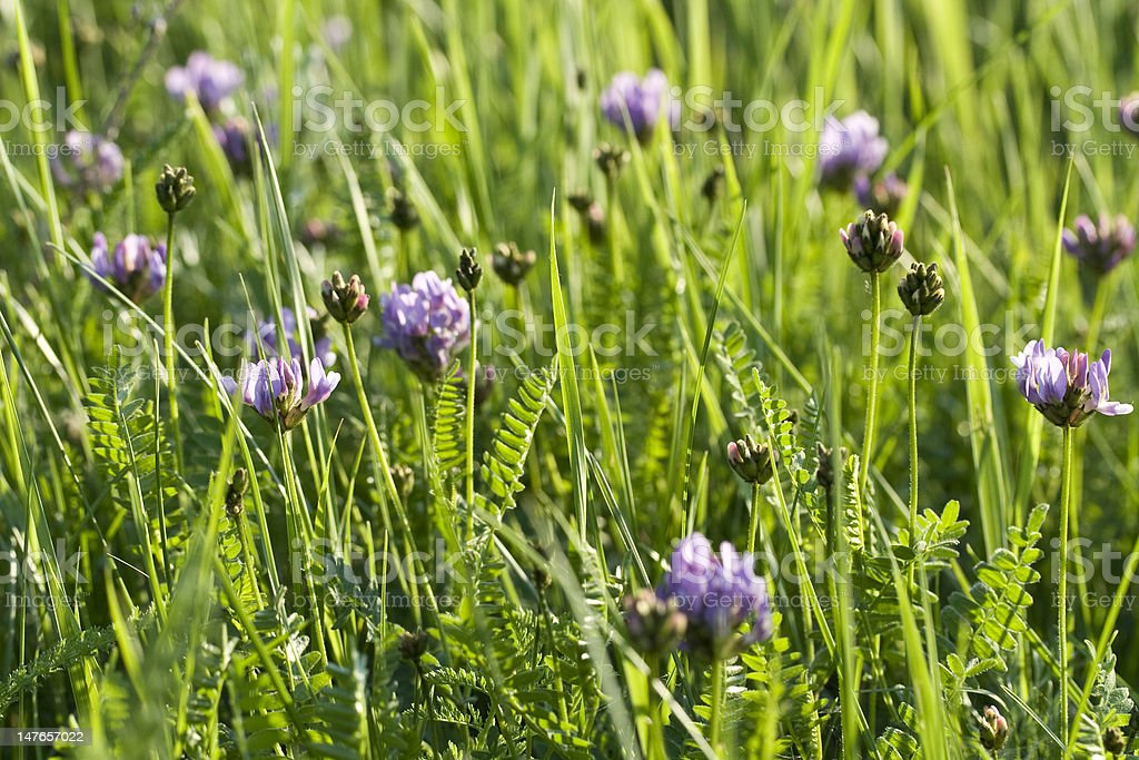 violet  flower in grass stock photo