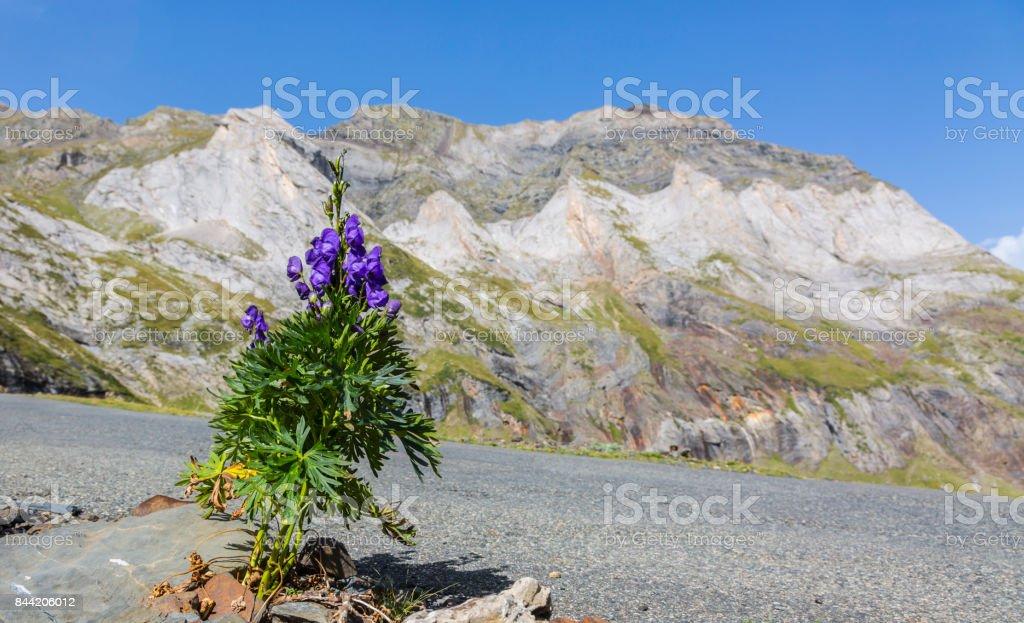 Violet flower (Aconitum napellus) in Pyrenees stock photo