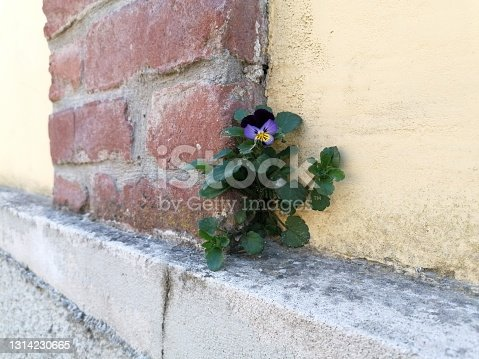 a violet flower grown on the edge of a wall