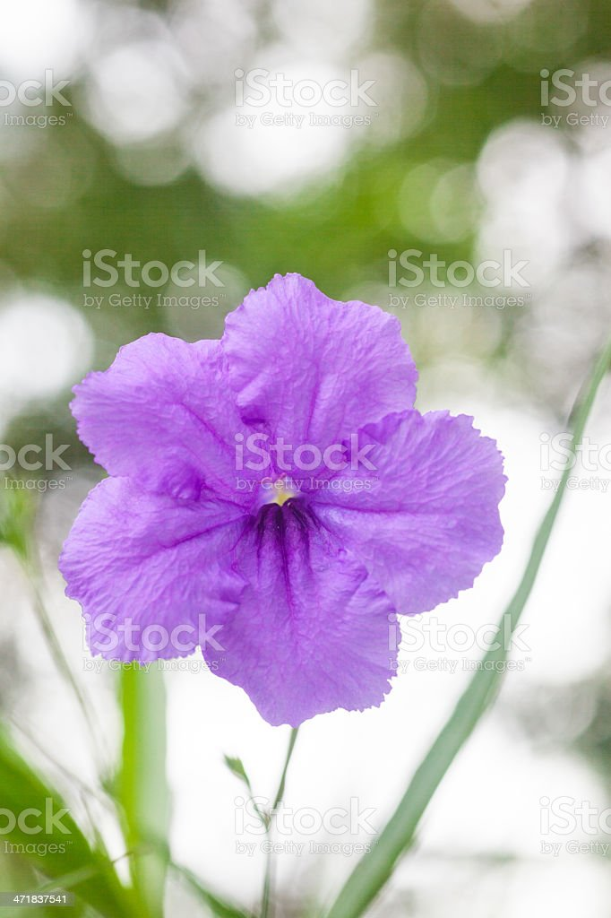 Violet flower royalty-free stock photo