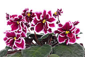 Beautiful bright claret with white violet flower over white background