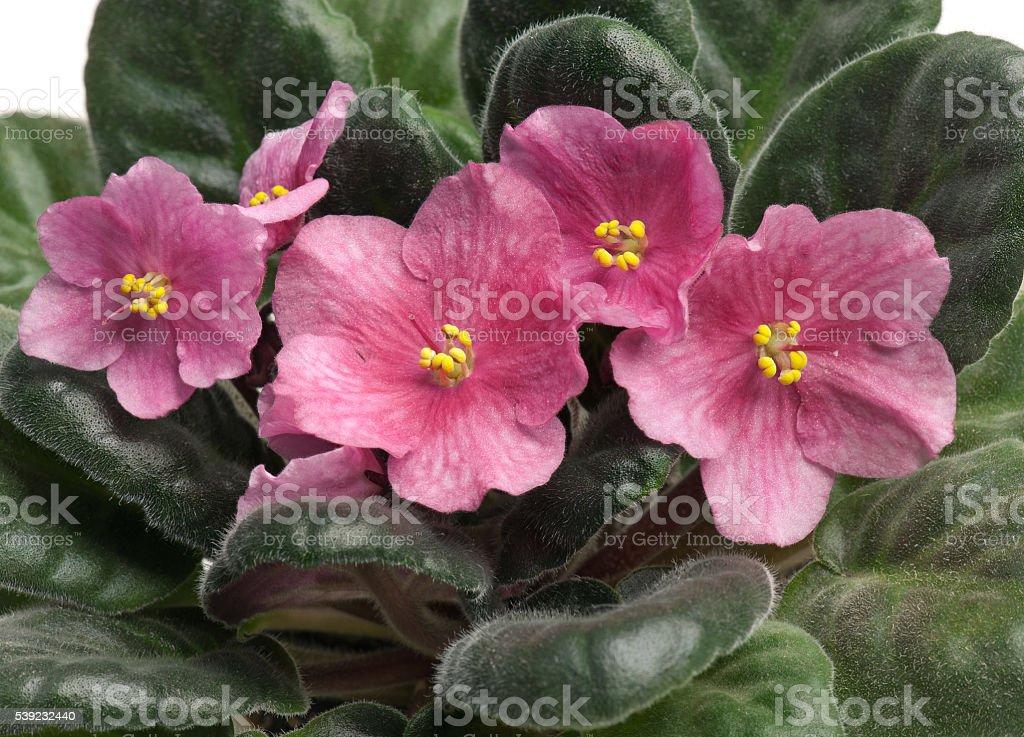 Violeta flor  foto de stock libre de derechos