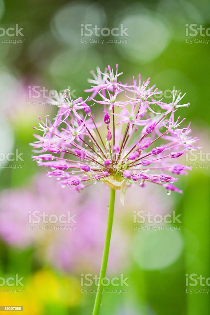 Fioletowy kwiat zbiór zdjęć royalty-free
