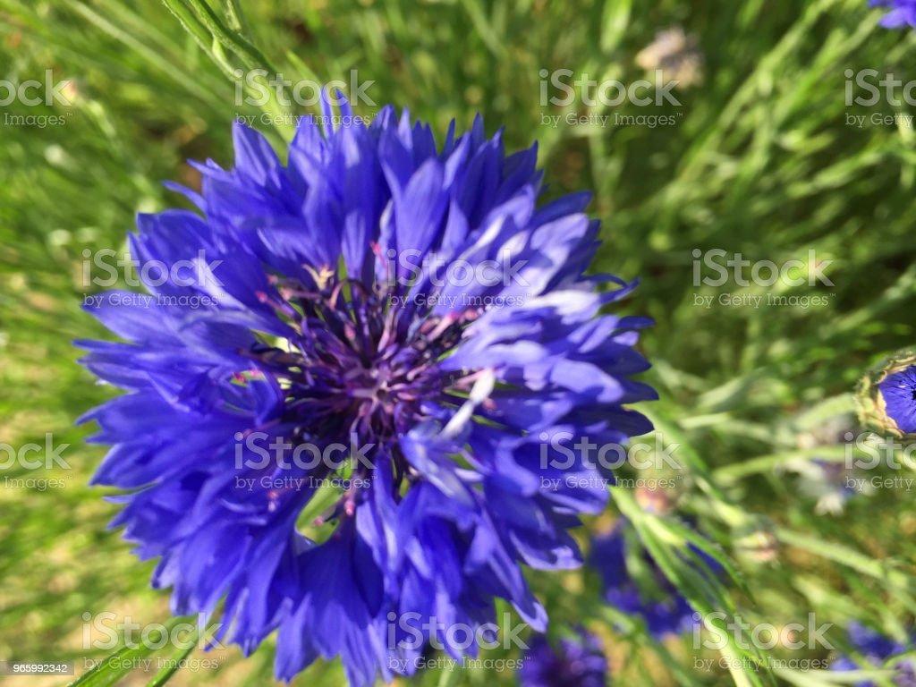 paarse bloem - Royalty-free Bloem - Plant Stockfoto