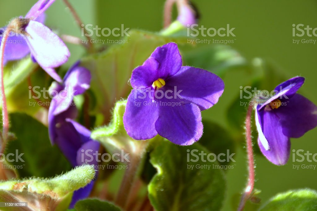 Violet Flower With Green Leaves Beautiful Purple Flowers Stock Photo Download Image Now Istock