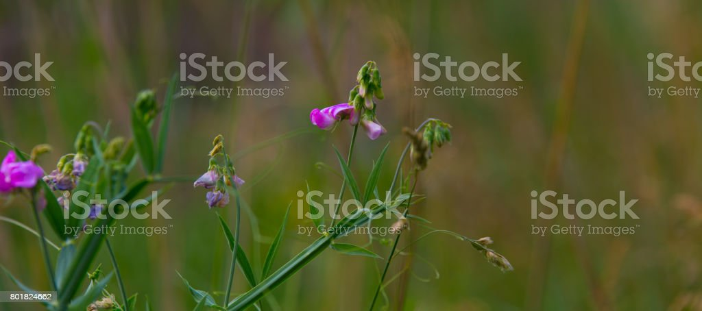 Violet Flowers against a natural background stock photo