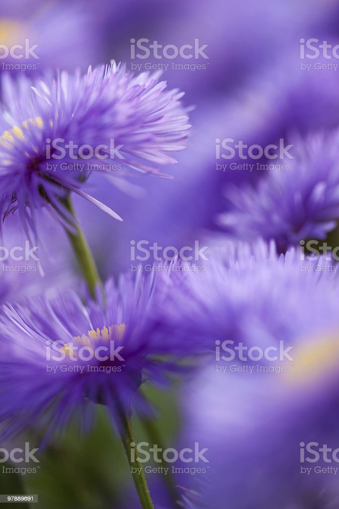 Violet flowers for nice pattern royalty-free stock photo