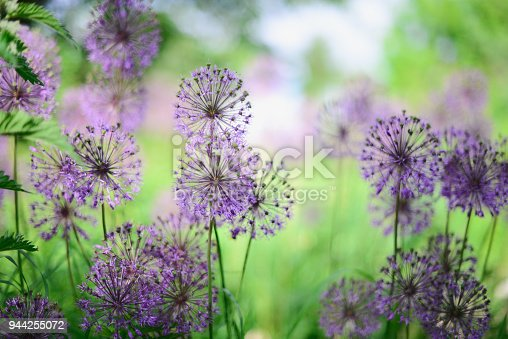 Violet flowers in the green field. Bokeh on background