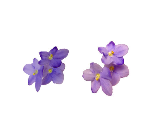 Violet flowers isolated stock photo