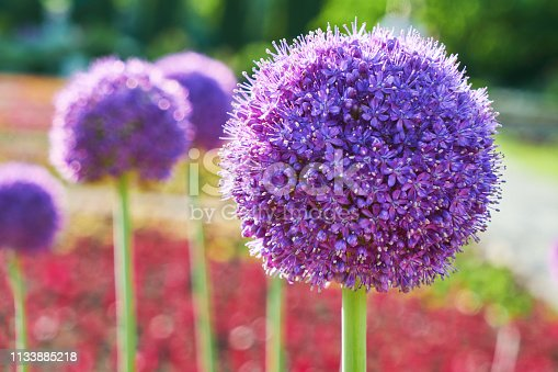 Violet flowers of the allyl-moon field, Allium. Beautiful mauve flowers in the form of a bowl of wild onions in the botanical garden on the lawn