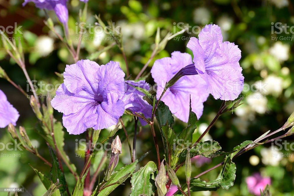 Flores de violeta  foto royalty-free
