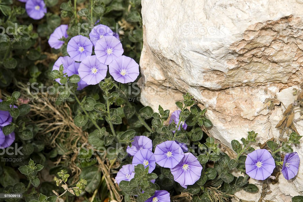 Violet flowers royalty-free stock photo